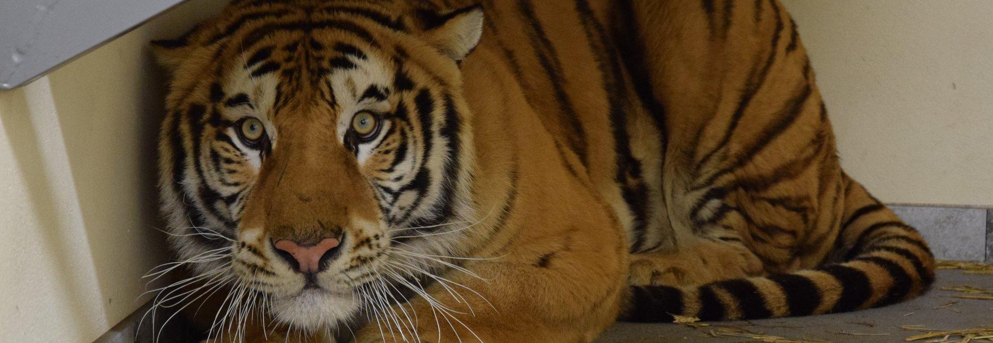 Pomoc dla tygrysów z poznańskiego Zoo