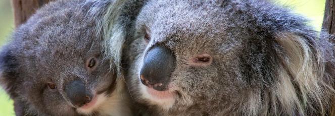 Fundacja Zoo Wrocław DODO pomaga Australii na zrzutka.pl!