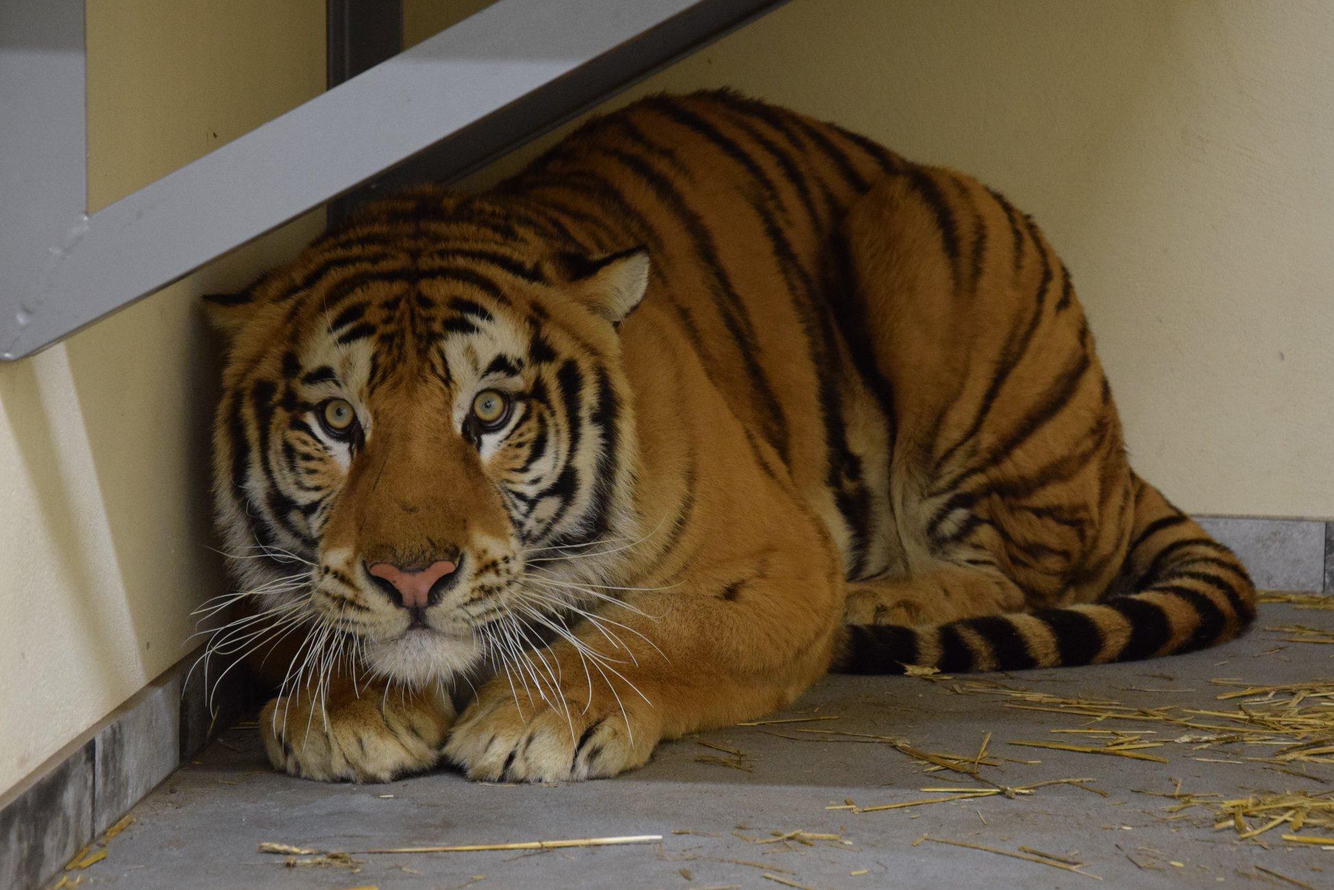 Tygrysy z poznańskiego Zoo