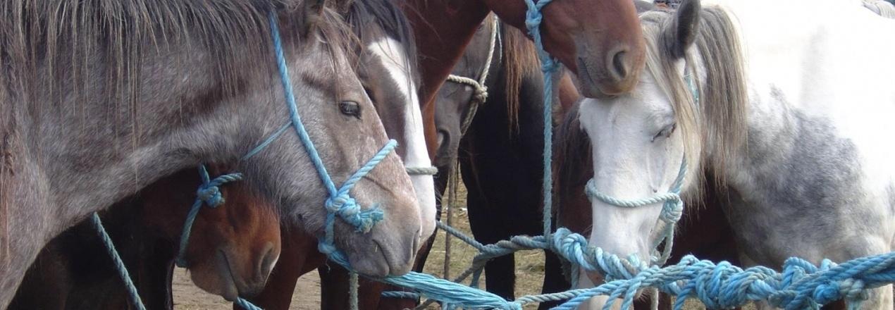 Budowa stajni dla koni-weteranów