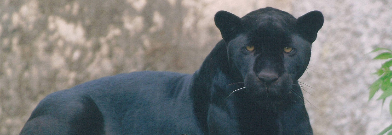 Jaguarzyca Beata z warszawskiego zoo