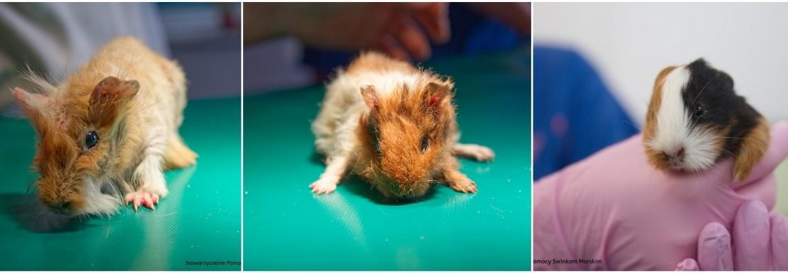 KONICZYNKI - na leczenie i żywienie ponad setki świnek morskich z interwencji!